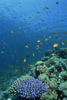 Reef scene with fish and coral, Red Sea, Egypt, North Africa, Africa