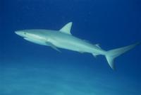 Caribbean reef shark (Carcharinus perezi)