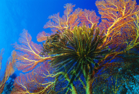 Featherstars perch on the edge of Gorgonian Sea Fans to feed in the current, Fiji, Pacific Ocean