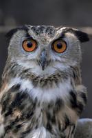 European eagle owl (Bubo Bubo), New Forest Owl Sanctuary, England, United Kingdom, Europe
