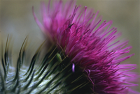 Close-up of a Scottish thistle flower