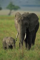 Female and calf, African elephant, Masai Mara National Reserve, Kenya, East Africa, Africa