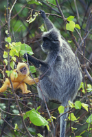 Female Silvered Langur and infant, Bako National Park, Sarawak, Borneo, Malaysia, Southeast Asia, Asia