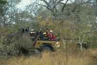 White rhino and calf watched by tourists from jeep, Sabi, South Africa, Africa