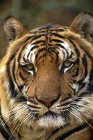 Portrait of an Indo Chinese Tiger (Panthera tigris corbetti), Tiger sanctuary, Khao Pardap Chan, Thailand
