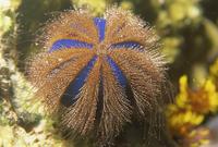 Sea urchin, Sabah, Malaysia, Borneo, Southeast Asia, Asia