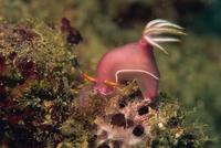 Nudibranch (Chromodoris Bullocki) feeding on algae, Sabah, Malaysia, Borneo, Southeast Asia, Asia 20025348862| 写真素材・ストックフォト・画像・イラスト素材|アマナイメージズ
