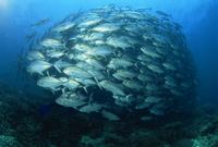 Tightly balled school of jack fish, South Point, Sipadan Island, Sabah, Malaysia, Borneo, Southeast Asia, Asia