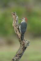 Red-bellied woodpecker, South Florida, United States of America, North America 20025348983| 写真素材・ストックフォト・画像・イラスト素材|アマナイメージズ
