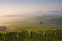 Early morning mist over vineyard, The North Downs, Dorking, Surrey, England, United Kingdom, Europe