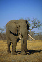 African elephant (Loxodonta africana), Kruger Park, South Africa
