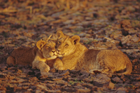 Lioness and cub, Okavango Delta, Botswana, Africa