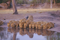 Lion (Panthera leo) at water hole, Okavango Delta, Botswana, Africa