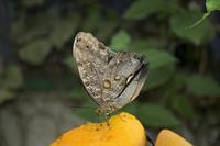 Owl Moth, Monteverde, Costa Rica, Central America
