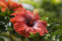 Red hibiscus flowers, Costa Rica, Central America