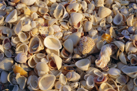 Sanibel Island, famous for the millions of shells that wash up on its beaches, Florida, United States of America