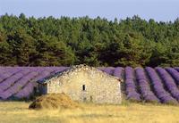 Stone building in lavender field, Plateau de Sault, Haute Provence, Provence, France, Europe