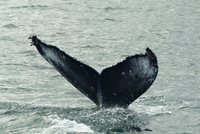 Humpback whales, Husavik, the whale capital of Europe, Iceland, Polar Regions