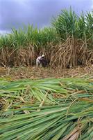 Sugar cane cutting by hand, Reunion Island, Indian Ocean