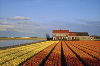 Tulip fields, Netherlands, Europe