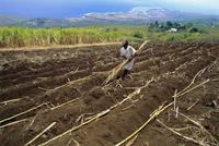 Sugar cane fields, Reunion Island, Indian Ocean