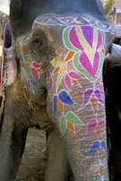 Decorated elephant at the Amber fort, Jaipur, Rajasthan state, India, Asia