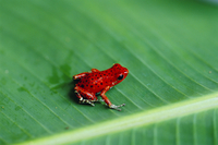 Close-up of a red frog, Boca del Toro, Panama, Central America