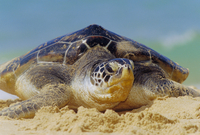Green Sea Turtle (Chelonia Mydas) coming out of the sea near Hat Mai Khao, Phuket Province, Thailand