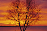 Silhouette of a Birch tree at sunrise, Kouchibouguac National Park, New Brunswick, Canada