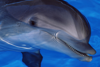 Close-up of a dolphin, Loro Parque, Puerto de la Cruz, Tenerife, Canary Islands, Spain, Europe