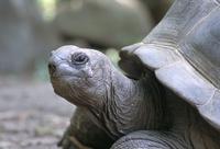 Tortoise, south coast, Curieuse Island, Seychelles, Indian Ocean, Africa