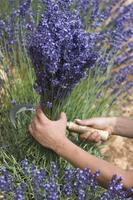 Cutting Lavender, Luberon, France 20025350127| 写真素材・ストックフォト・画像・イラスト素材|アマナイメージズ