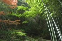 Bamboo forest, Hokokuji temple garden, Kamakura, Kanagawa prefecture, Japan, Asia 20025350160| 写真素材・ストックフォト・画像・イラスト素材|アマナイメージズ
