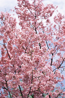 Spring blossom at Ueno-koen Park, Ueno, Tokyo, Japan, Asia 20025350193  写真素材・ストックフォト・画像・イラスト素材 アマナイメージズ