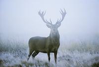 Red deer (cervus elaphus) stag at dawn during rut in September, United Kingdom, Europe