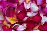 Rose petals 20025350216  写真素材・ストックフォト・画像・イラスト素材 アマナイメージズ