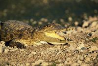 Nile crocodile, Crocodylus niloticus, Kruger National Park, South Africa, Africa