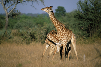 Giraffe, Giraffa camelopardalis, two males necking (sparring), Kruger National Park, South Africa, Africa 20025350406| 写真素材・ストックフォト・画像・イラスト素材|アマナイメージズ