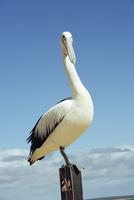 Australian pelican, Pelecanus conspicillatus, Shark Bay, Western Australia, Australia, Pacific 20025350451| 写真素材・ストックフォト・画像・イラスト素材|アマナイメージズ