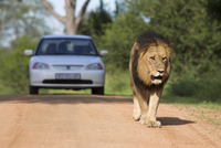 Lion (Panthera leo), and tourist vehicle, Kruger National Park, South Africa, Africa 20025350476| 写真素材・ストックフォト・画像・イラスト素材|アマナイメージズ