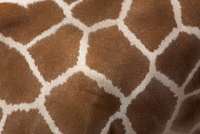 Close-up of skin of a reticulated giraffe (Giraffa camelopardalis reticulata), in captivity, native to East Africa, Africa