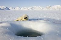 Ringed seal (Phoca hispida) pup, Billefjord, Svalbard, Spitzbergen, Arctic, Norway, Scandinavia, Europe 20025350625| 写真素材・ストックフォト・画像・イラスト素材|アマナイメージズ