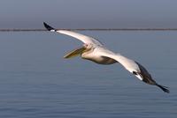 White pelican, Pelecanus onocrotalus, Walfish Bay, west coast, Namibia, Africa