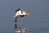 White pelican, Pelecanus onocrotalus, Walfish Bay, west coast, Namibia, Africa