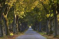 Tree avenue in fall, Senne, Nordrhein Westfalen (North Rhine Westphalia), Germany, Europe