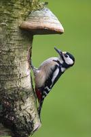 Great Spotted Woodpecker, (Dendrocopos major), Bielefeld, Nordrhein Westfalen, Germany