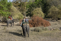 Elephant ride and Indian tiger, Bandhavgarh Tiger Reserve, Madhya Pradesh state, India, Asia 20025350708| 写真素材・ストックフォト・画像・イラスト素材|アマナイメージズ