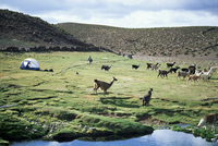 Llamas passing tent and backpacker, Parque Nacional Volcan Isluga (Volcan Isluga National Park), Chile, South America 20025350820| 写真素材・ストックフォト・画像・イラスト素材|アマナイメージズ