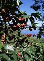 Close-up of coffee plant and beans, Lago Atitlan (Lake Atitlan) beyond, Guatemala, Central America
