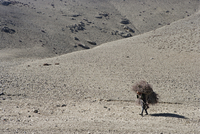 Woman carrying firewood, on the Annapurna circuit trek just west of Jharkot. Easter 2005, Nepal, Asia 20025350874  写真素材・ストックフォト・画像・イラスト素材 アマナイメージズ